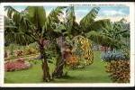 【大正時代】米国切手付絵葉書 フロリダのバナナの木