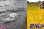 ★白鳥飛来の里 農家直送★大地の風100%玄米10Kg 送料込!
