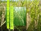 28年新米★甲州から 農家のヒノヒカリ玄米 精米無料!