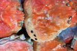 訳あり ボイルズワイ蟹ダルマ活目2キロセット 同梱可能